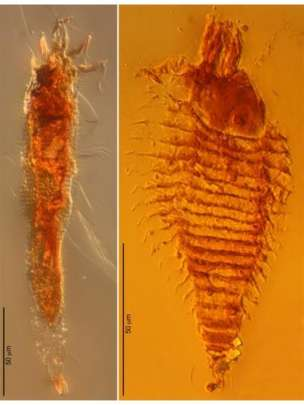 Screening thousands of Triassic amber droplets yielded two undiscovered species of mite