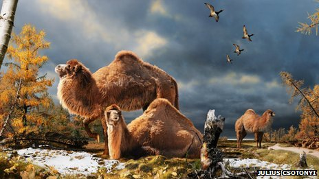 The giant camels were thought to have lived about 3.5 million years ago and are believed to be direct ancestors of our modern species