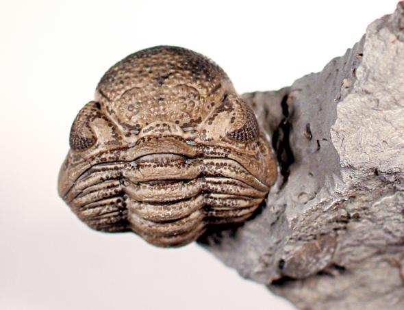 Dark spots found on several trilobite specimens could have been used for camouflage, according to new research. Photograph by Markus Martin
