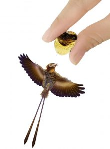 A scale illustration that shows the relative size of the tiny bird compared to a fossilized wing. (Shenna Wang)
