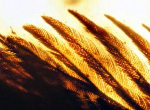 A microscopic photo of the fossilized feathers. (Royal Saskatchewan Museum (RSM/R.C. McKellar))