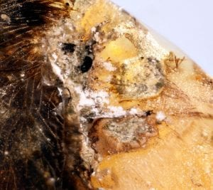 Well-preserved ancient bird bone in amber. (Royal Saskatchewan Museum (RSM/ R.C. McKellar)