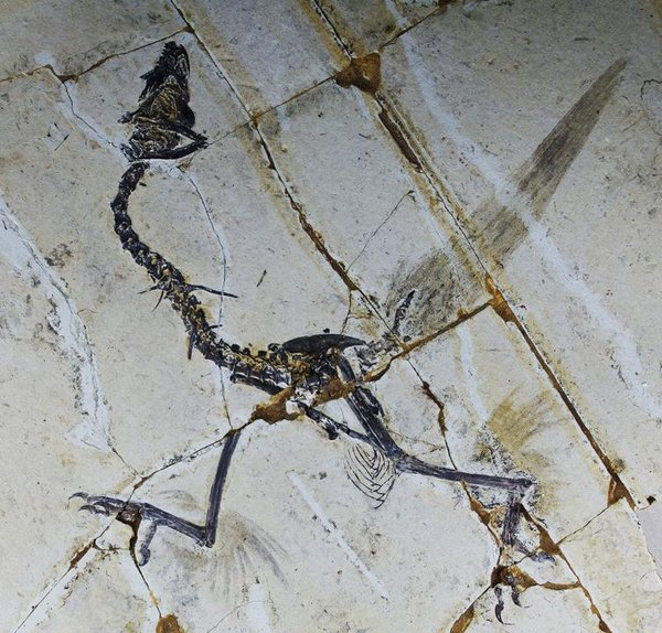 Yike Xu / Shandong Tianyu Museum of Nature - This sample of Sapeornis shows traces of feathers on the ancient bird's hind limbs